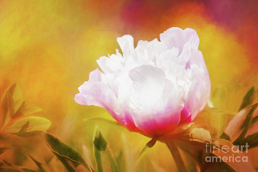 Peony Delight by Anita Pollak