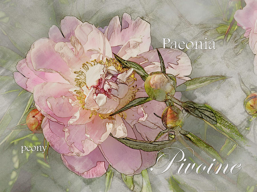 Peony Graphic by Mark Mille