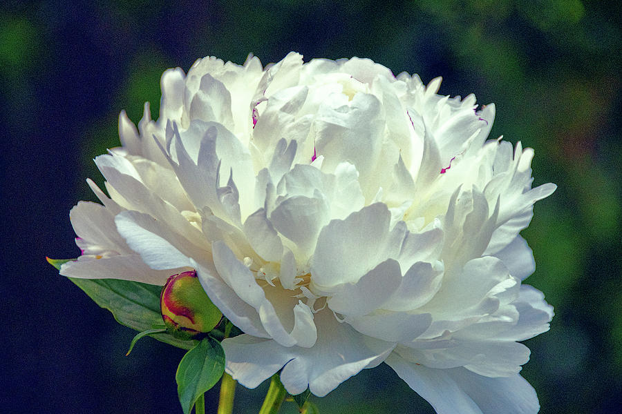 Peony in White by Julie Palencia