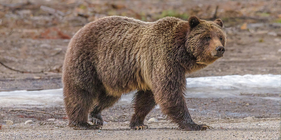 People Call Her The Queen Grizzly by Yeates Photography