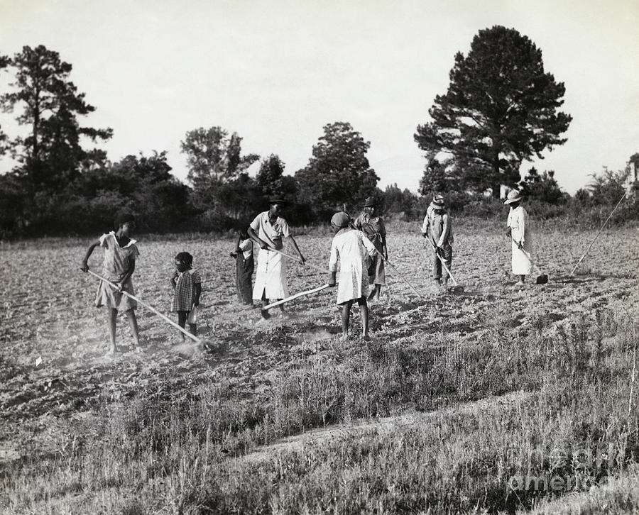 People Hoeing Cotton Field In Alabama Photograph by Bettmann
