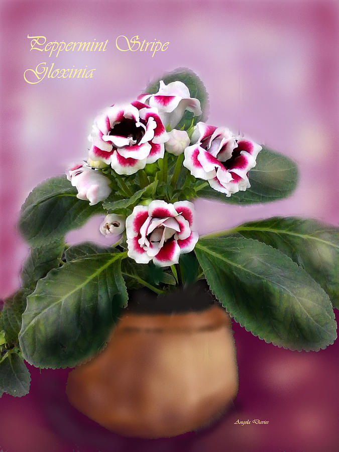 Peppermint Stripe Gloxinia by Angela Davies