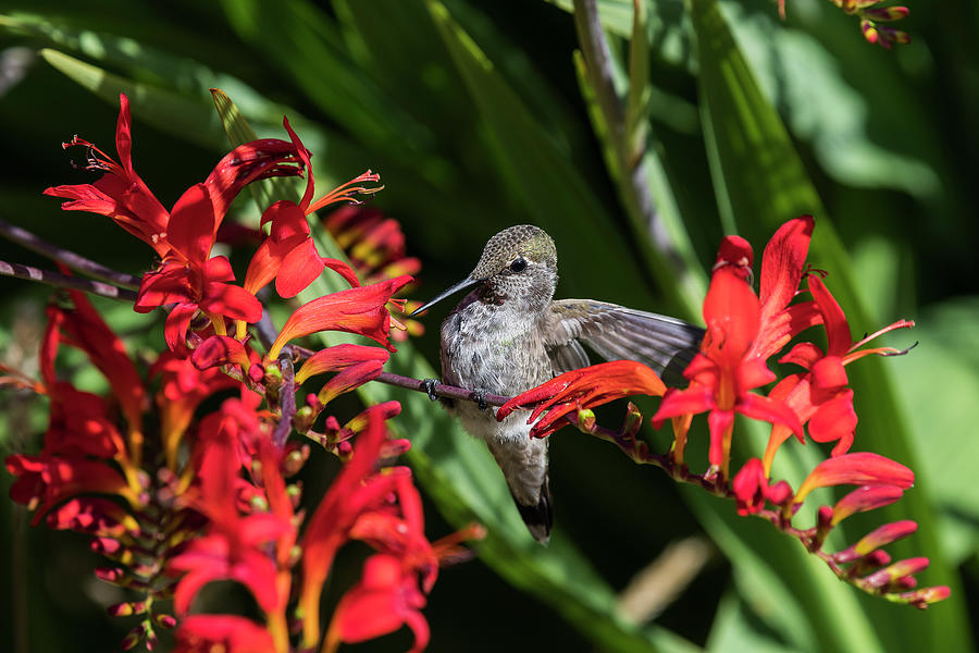 Perched Anna's Hummingbird by Robert Potts