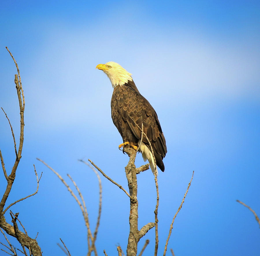 Perched Bald Eagle by Dan Sproul