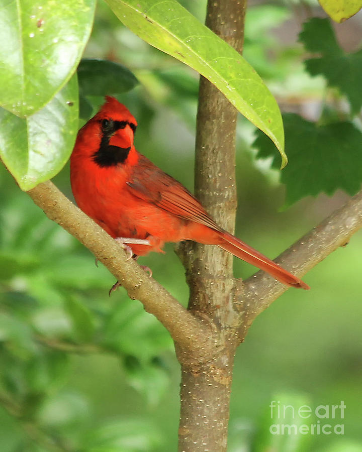 Perched Cardinal by Michelle Tinger