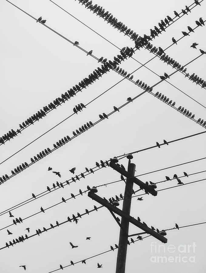 Perched Murmuration Photograph by Shaunl