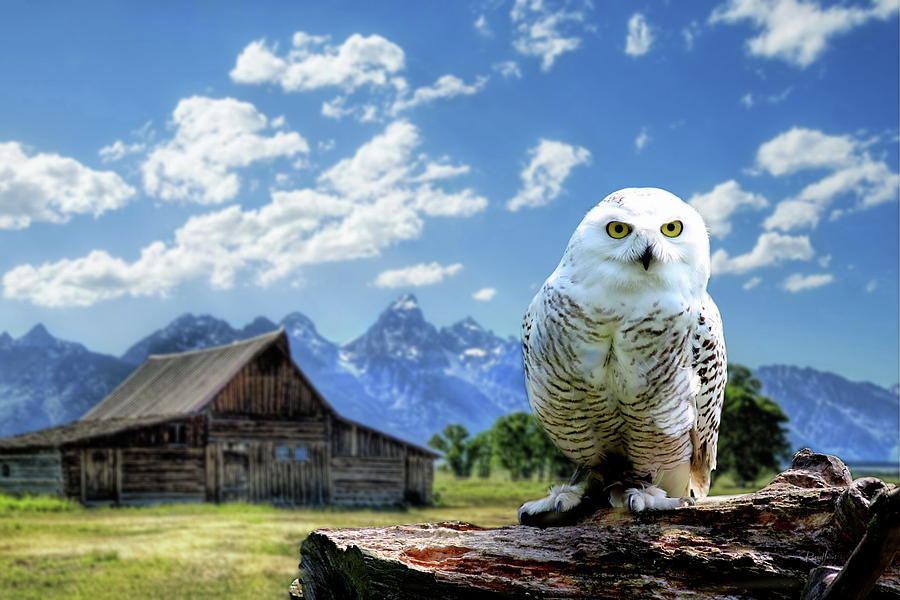 Perched Snowy Owl at Moulton Barn by Russ Harris