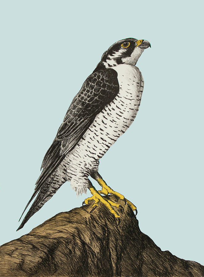 Peregrine Falcon Drawing By Hans Egil Saele