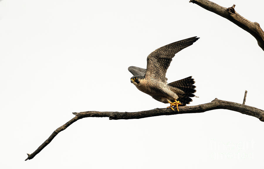 Peregrine Falcon Taking Off  by Sam Rino