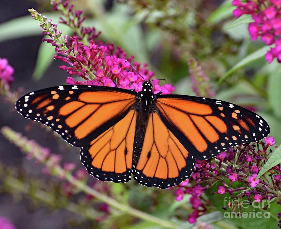 Perfect Male Monarch Photograph