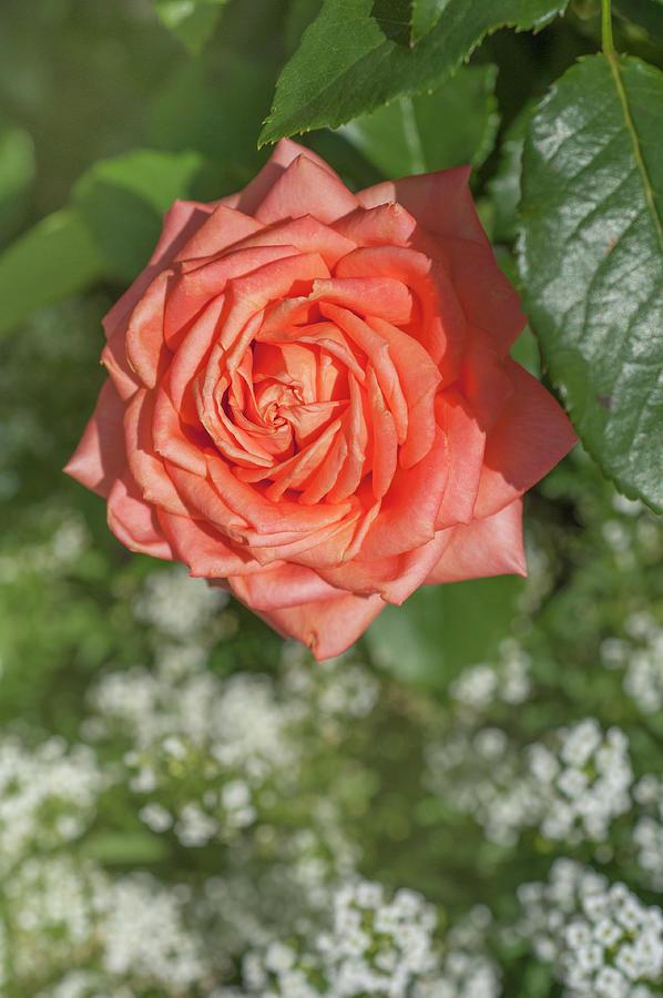 Perfect Pet Floribunda Rose 1 by Jenny Rainbow