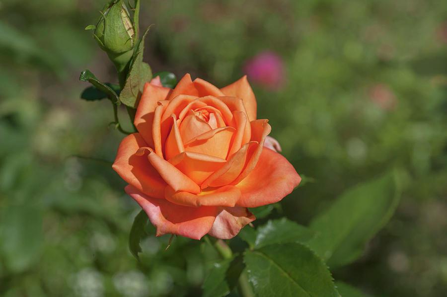Perfect Pet Floribunda Rose 2 by Jenny Rainbow