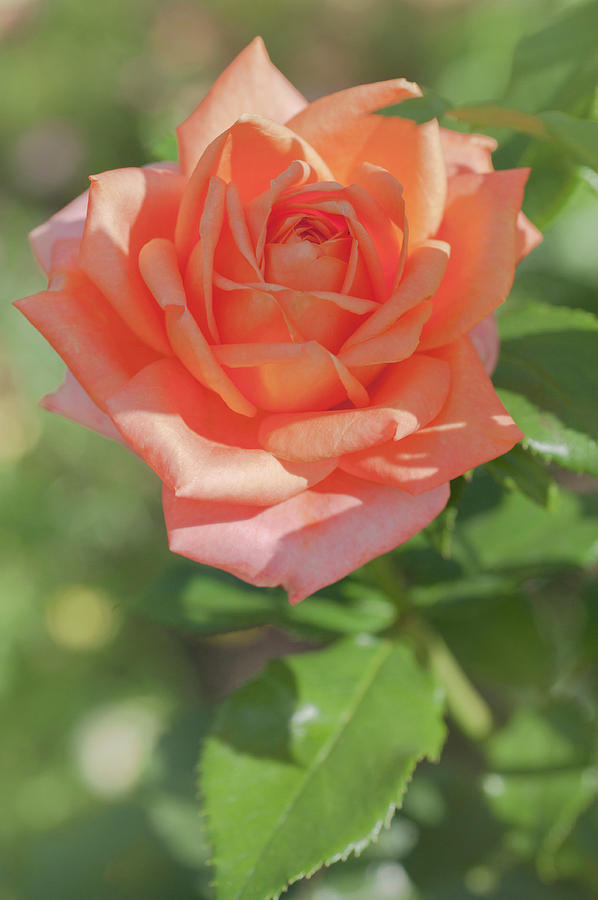 Perfect Pet Floribunda Rose 3 by Jenny Rainbow