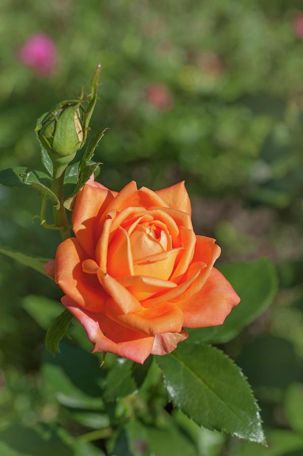 Perfect Pet Floribunda Rose 4 by Jenny Rainbow