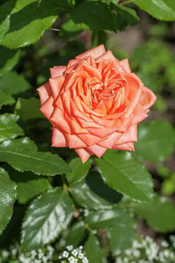 Perfect Pet Floribunda Rose by Jenny Rainbow