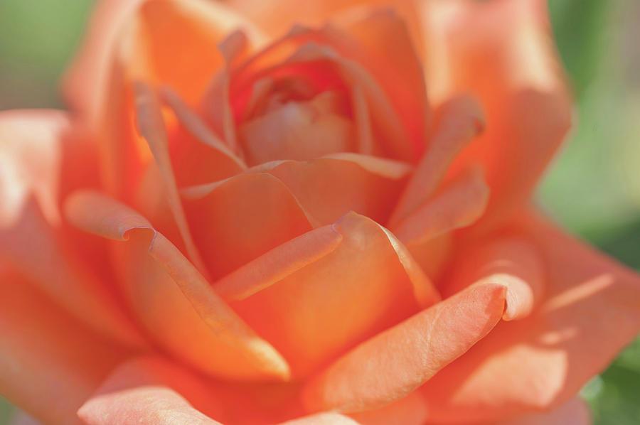 Perfect Pet Floribunda Rose Macro by Jenny Rainbow