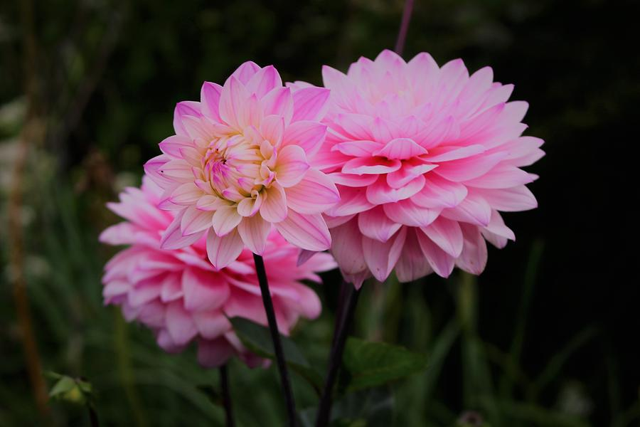 Perfect Pink Dahlia  by Loretta S