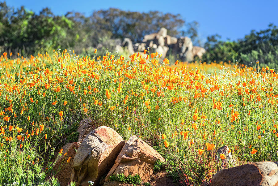 Perfect Poppies Among The Rocks by Joseph S Giacalone