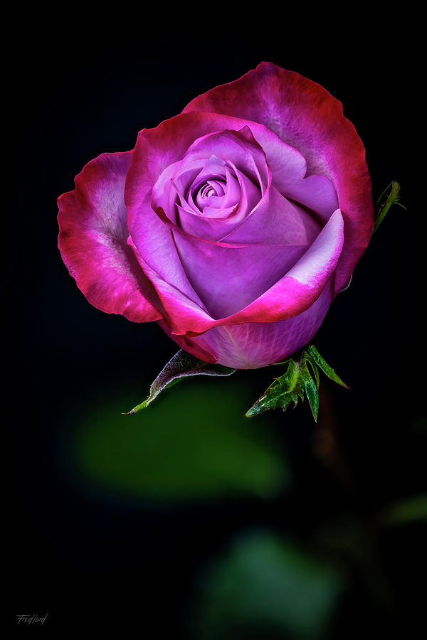Perfect Rose by Fred J Lord