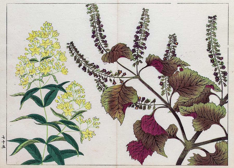 Perilla Plant Japanese Woodblock Print Digital Art by Mashuk