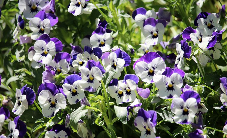 Perky Face Pansies  by Cynthia Guinn