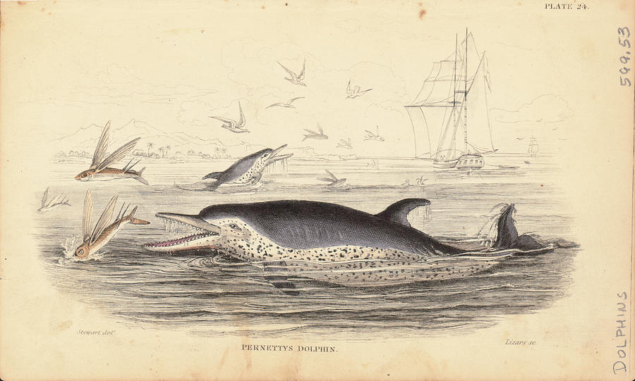 Pernettys Dolphin Photograph by Archive Photos