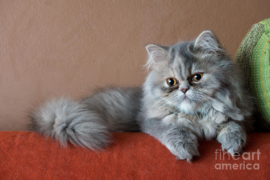 Fur Photograph - Persian Cat On The Couch by Valerio Pardi