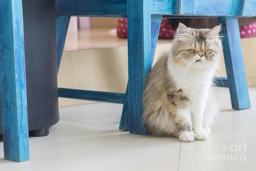 Studio Photograph - Persian Cat Sitting On The Floor by Fotogenicstudio