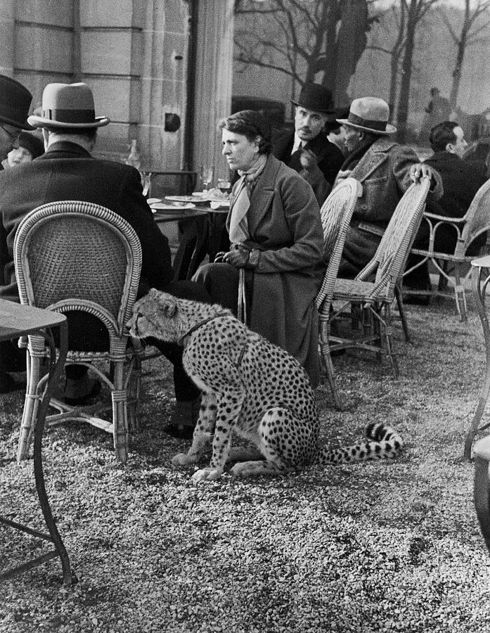 Pet Cheetah Photograph by Alfred Eisenstaedt