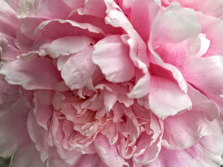 Petal to petal by Rosita Larsson