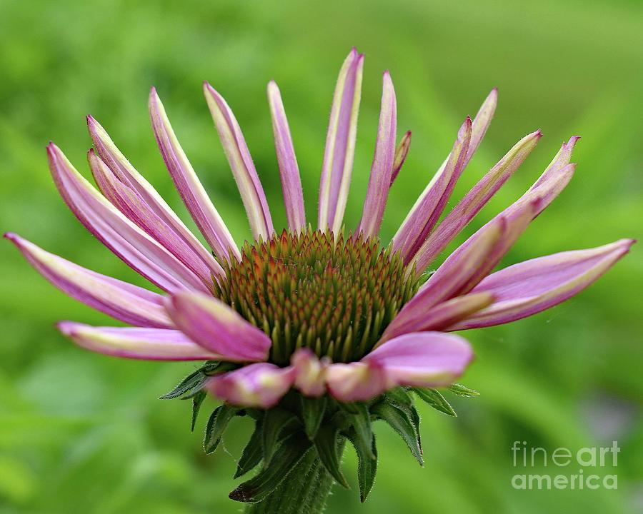 Petals With No Beginning And No Ending - Coneflower Photograph