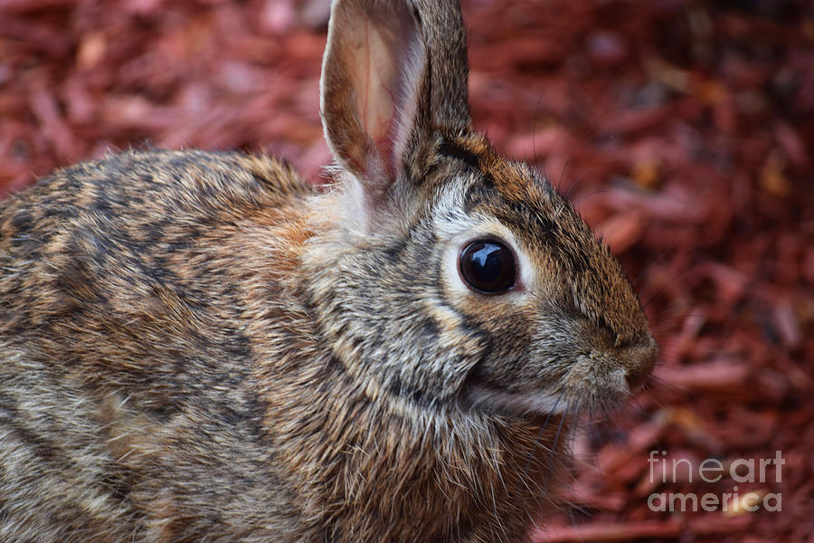 Cottontail Photograph - Peter Rabbit Two by Patti Whitten