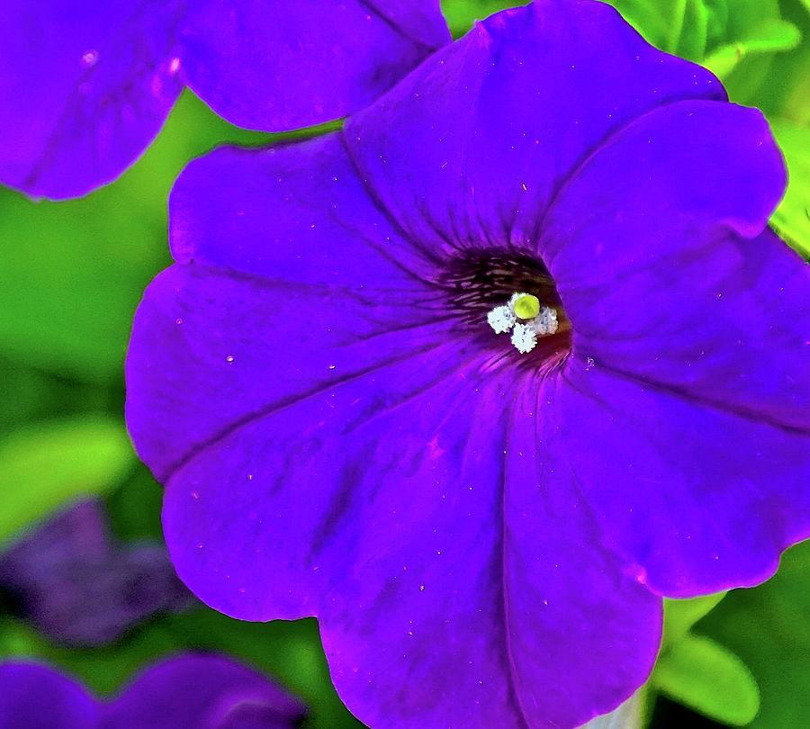 Petunia Photograph - Petunia by Gillis Cone