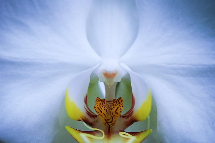 Phalaenopsis Orchid Photograph by By Ken Ilio