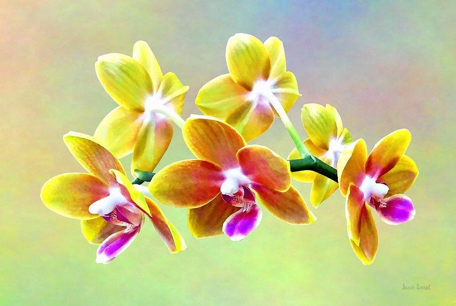 Phalaenopsis Orchid Taida Pride Cupid by Susan Savad