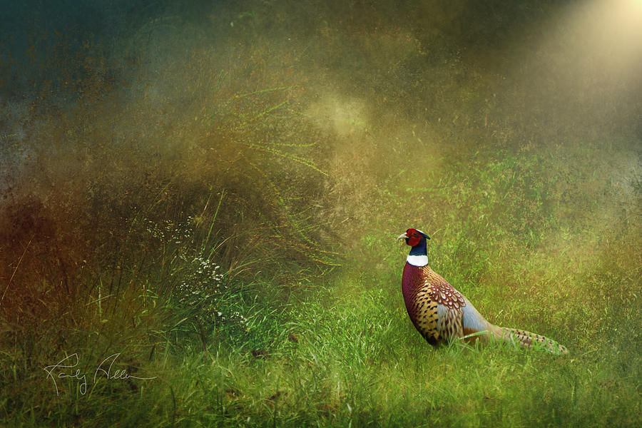 Pheasant by Randall Allen