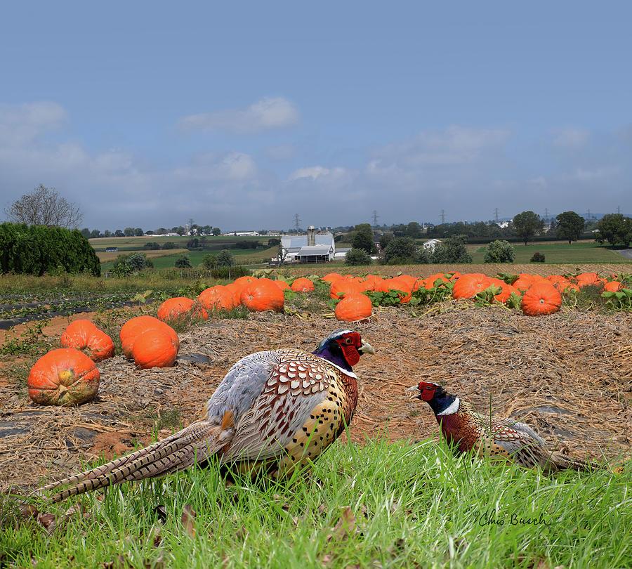 Pheasants by Chris Busch