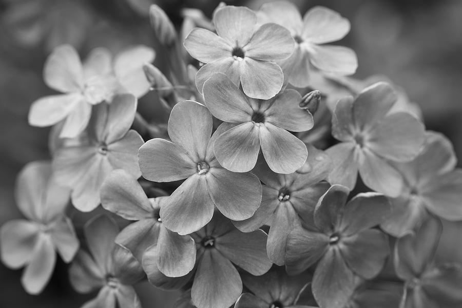 Phlox Glaberrima in Black and White by Rachel Morrison