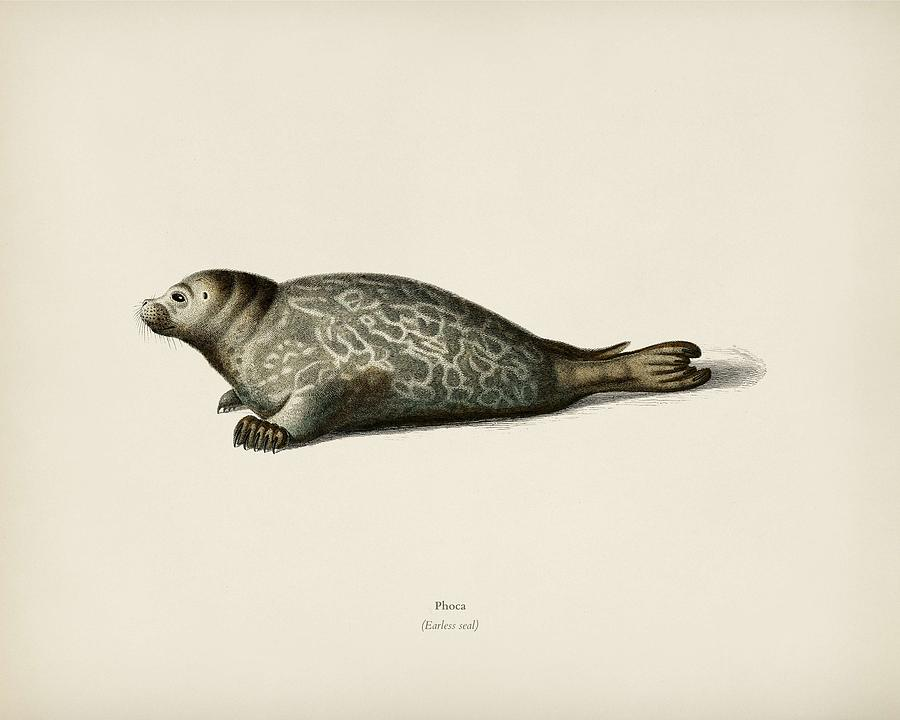 Phoca illustrated by Charles Dessalines D  Orbigny  1806 1876  by Celestial Images