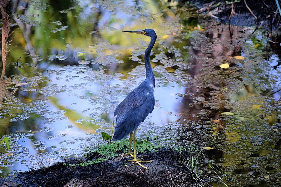 Photo 63 Blue Heron by Lucie Dumas