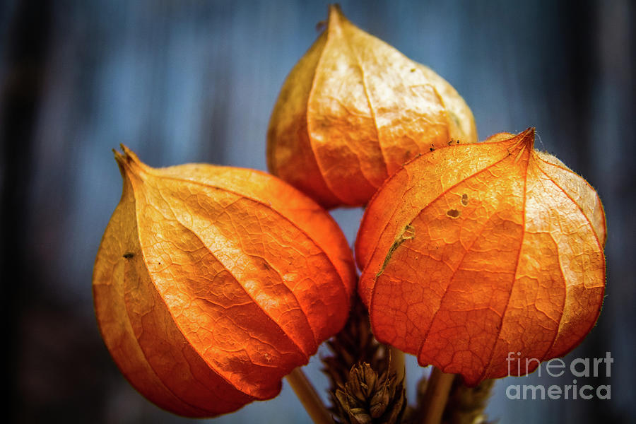 Physalis by Lyl Dil Creations