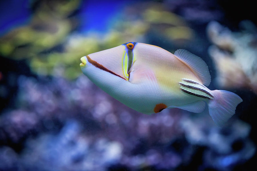 Picasso Triggerfish Photograph by Reynold Mainse / Design Pics