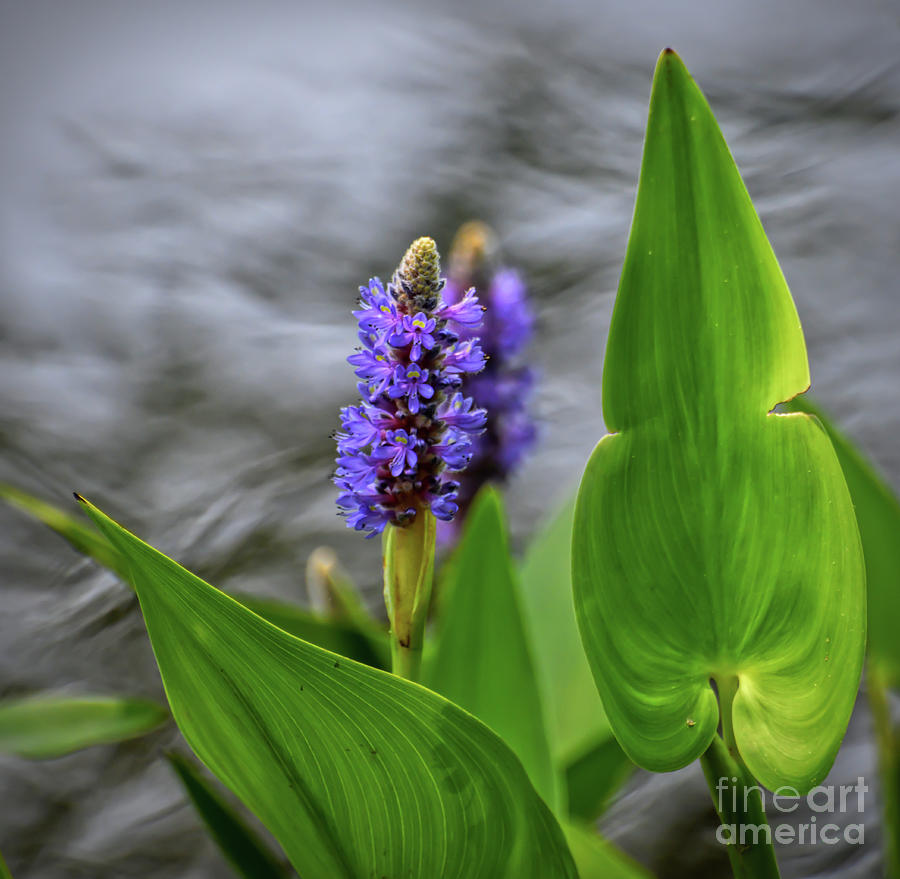 Pickerel Hyacinth by Kerri Farley
