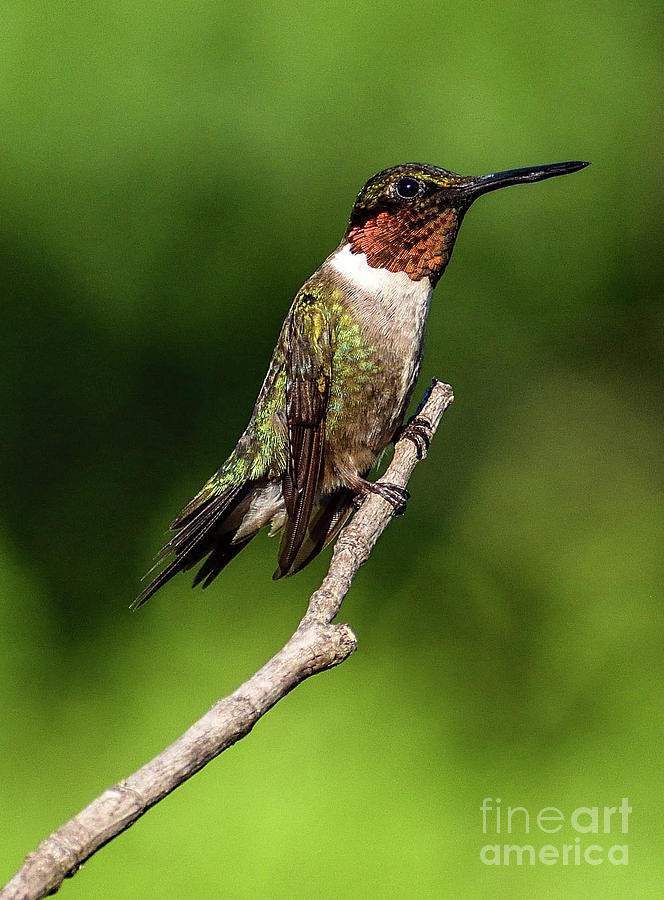 Picture Perfect Male Ruby-throated Hummingbird by Cindy Treger