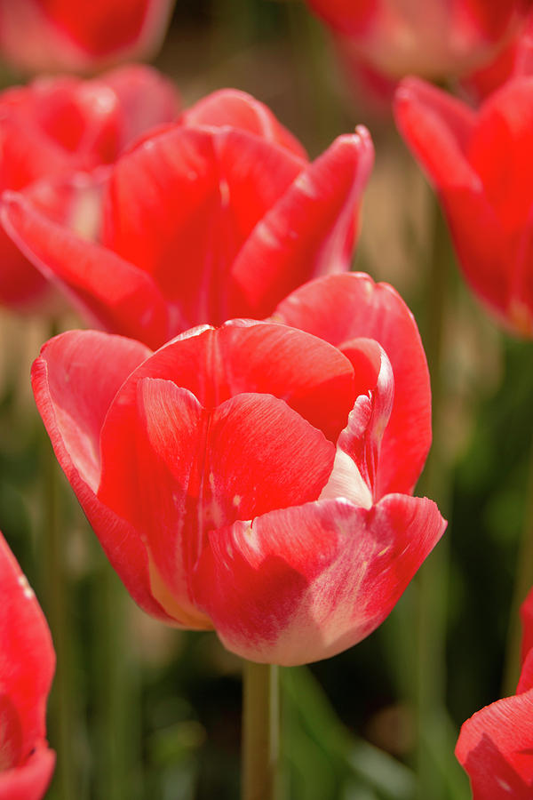 Picture Perfect Tulips by Kristia Adams