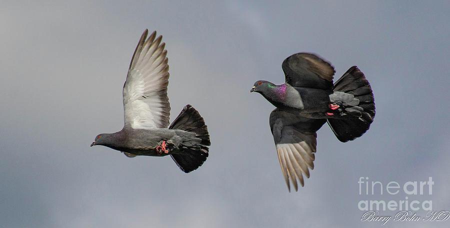 Pigeon pair by Barry Bohn
