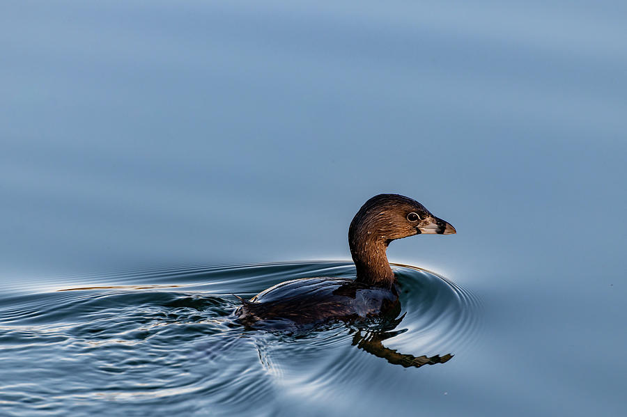 Pied-billed Grebe by Douglas Killourie