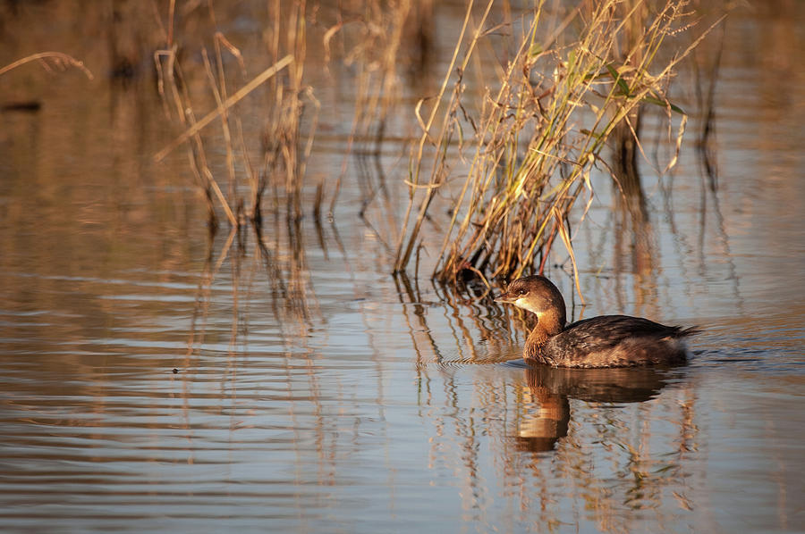 Pied billed Grebe  by Jeff Phillippi