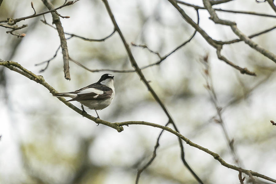 Pied Flycatcher by Wendy Cooper