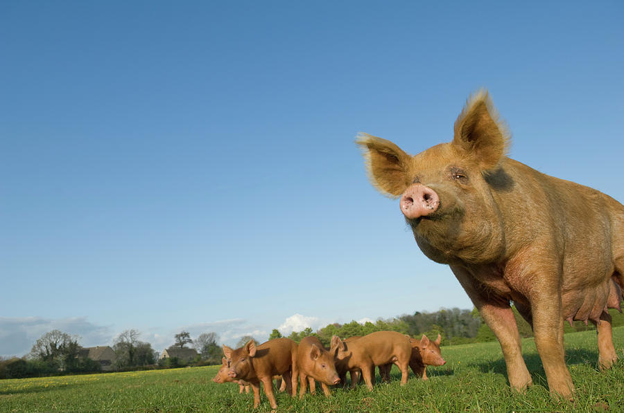 Pig In Field Photograph by Henry Arden